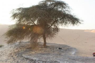 medium_Arbre_du_désert.jpg