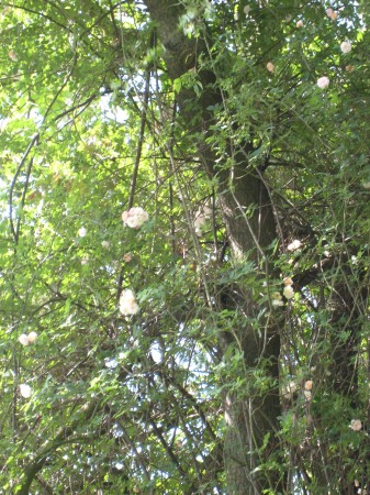 medium_rosier_grimpe_aux_arbres.jpg