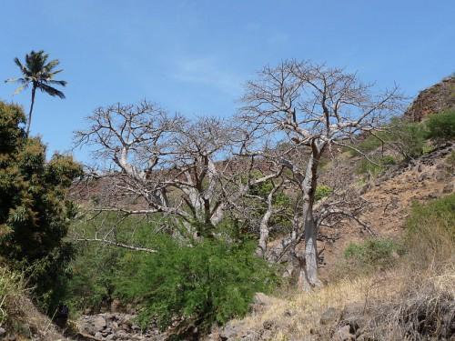 800px-Ribeira_Grande_de_Santiago-Baobabs_(1).jpg
