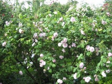 medium_buisson_roses_anciennes.jpg
