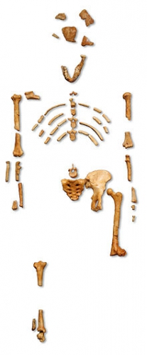 Reconstruction_of_the_fossil_skeleton_of_%22Lucy%22_the_Australopithecus_afarensis.jpg