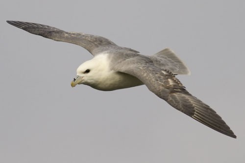 Fulmar B of B 3 May 07sm.jpg