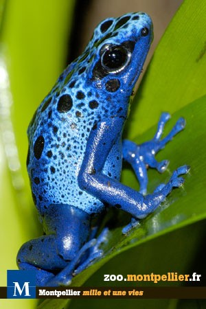 grenouille_bleue_Dendrobate_deux.jpg